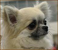 long haired applehead chihuahua