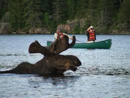 moose photography