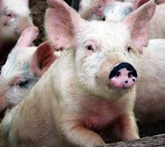 picture of a pigs