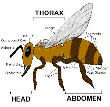 parts of the bee
