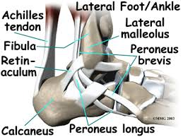 muscle ankle
