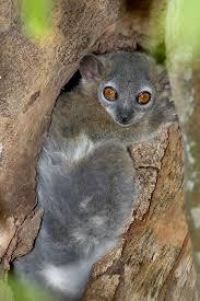 lemur species