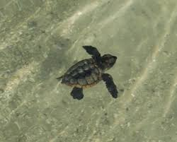 baby sea turtles pictures