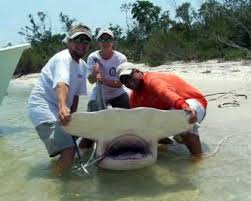 hammerhead shark fishing
