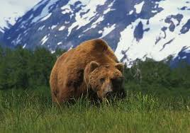 biggest grizzly bear