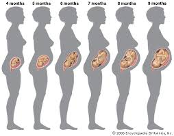 fetal development by month