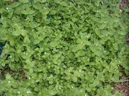 chickweed photo