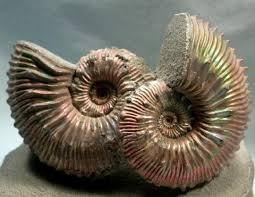 jurassic ammonites
