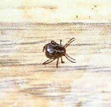 picture of a wood tick
