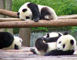 images of panda