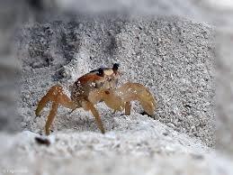 mini crabs