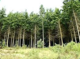 pictures of coniferous trees