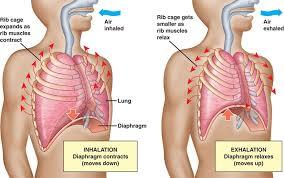 respiratory system breathing