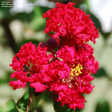 red rocket crepe myrtle