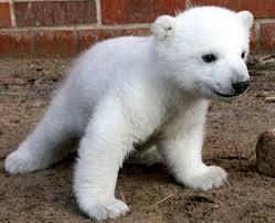 polar bears animal