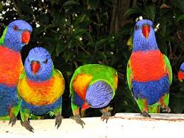 parrot breeds