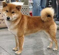 shiba inus dogs