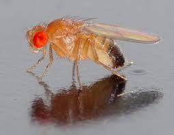 la drosophila melanogaster
