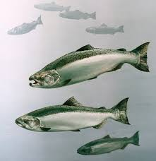 salmon fish picture