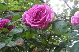 Bon Anniversaire ma chérie ... ROSES-POUR-ARTICLE-SITE-006