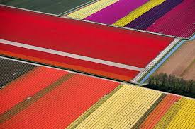 netherlands tulip