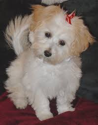 maltipoo pup