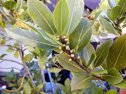 bay leaf trees
