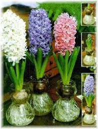 hyacinths bulb