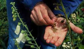 foxglove seed