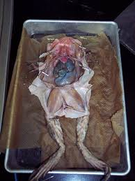 dissecting frog