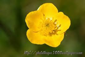 Fleur-Jaune