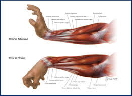 tendons in the forearm