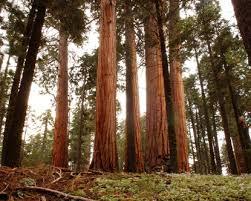 redwoods of california