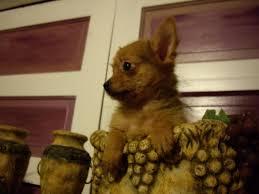 chihuahua yorkie mix puppy