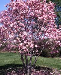 betty magnolia tree