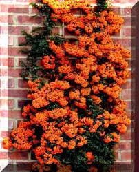 pyracantha tree