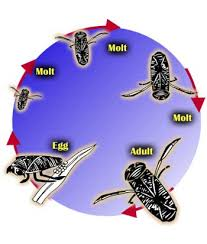 water boatman life cycle