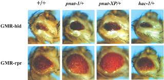 drosophila mutations