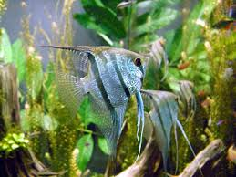 freshwater angelfish photos