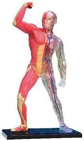 human muscle skeleton