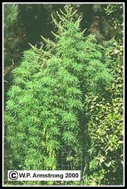 indian hemp plant