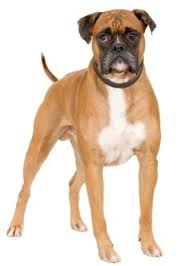 boxer breed dogs