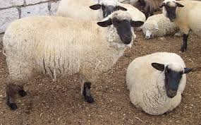 lana oveja