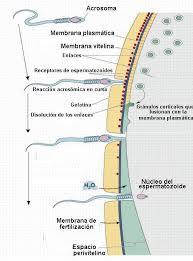recorrido del espermatozoide