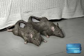 rat shoes