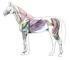 horse muscle structure