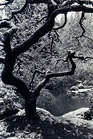 japanese maple winter