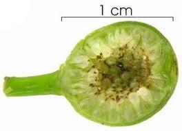 ficus flower