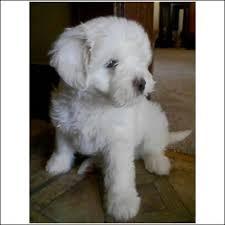 bichon maltese puppy