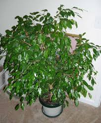 ficus tree photos
